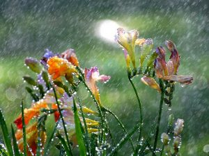 freesia_in_the_spring_rain_wallpaper-normal